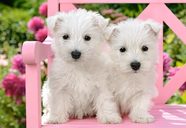 Image of   White Terrier Puppies